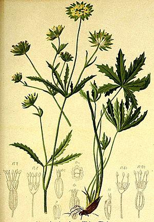 Astrantia minor - Image: Astrantia minor Atlas Alpenflora