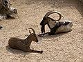 Athina Ogrod Narodowy kozy.jpg