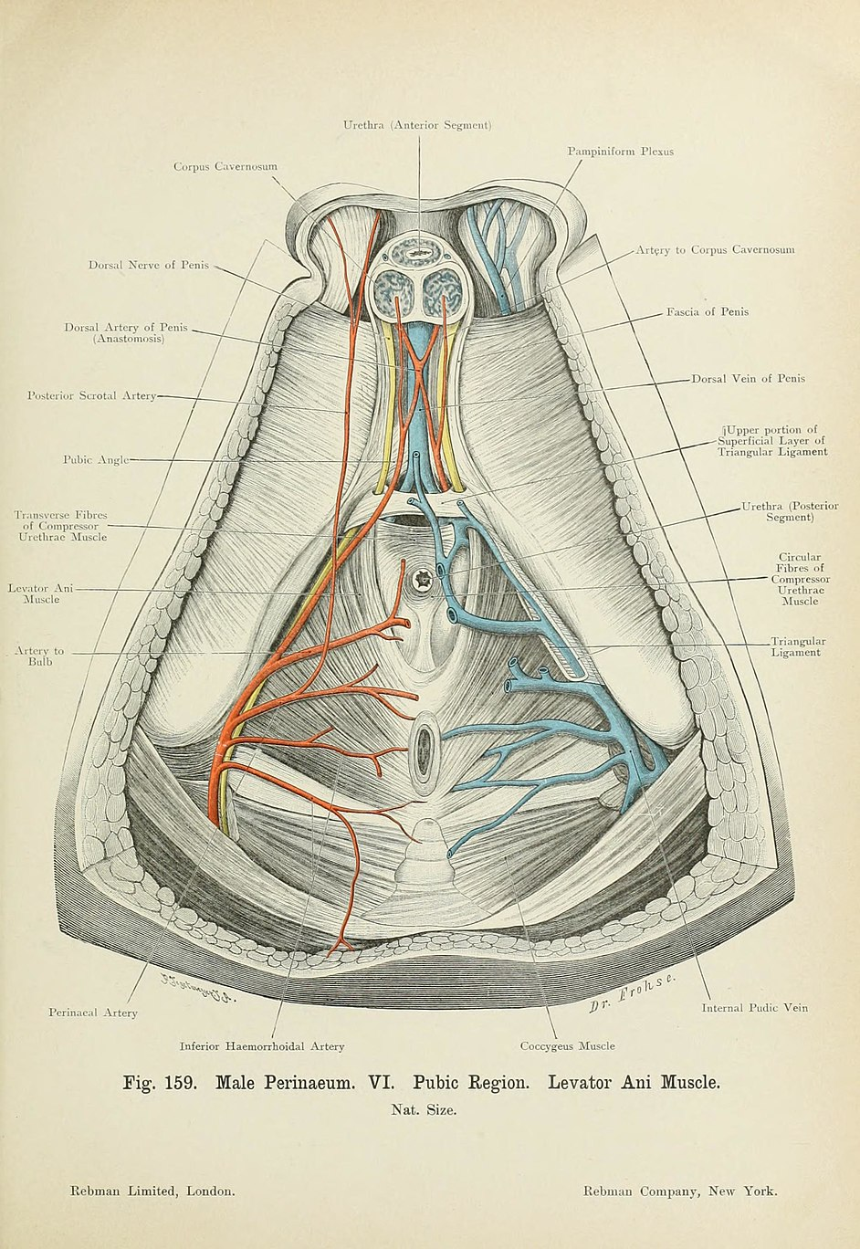 Fileatlas Of Applied Topographical Human Anatomy For Students And