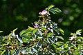 Atlas roslin pl Róża czerwonawa 5237 7785.jpg