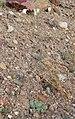 Atrichoseris platyphylla 3.jpg