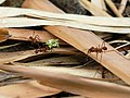 Atta cephalotes (with Euphorbia flowers).jpg