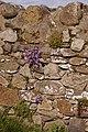 Aubretia (x cultorum) - geograph.org.uk - 1232733.jpg