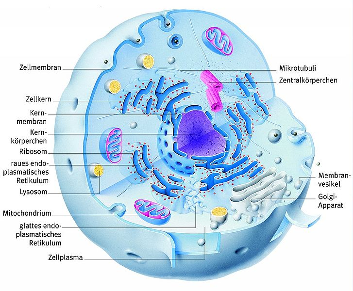Archivo Aufbau einer Tierischen Zelle jpg Wikipedia, la
