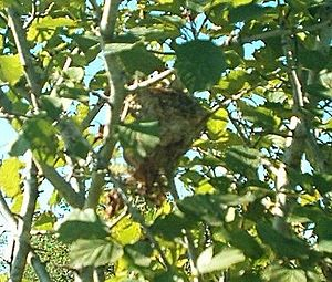 American goldfinch - Nest of an American goldfinch