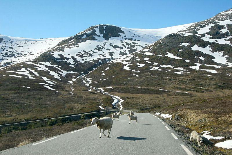 File:Aurlandsveien sheep.jpg