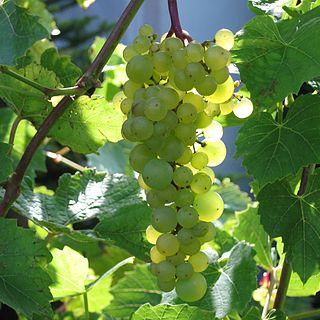 Aurore (grape)
