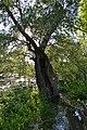 Ausgehöhlter Baum im Naturschutzgebiet Lampertheimer Altrhein nahe Aussichtspunkt Rallengraben.jpg