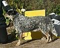 Australian Cattle Dog blue speckled.jpg