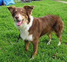 Australian Shepherd Wikipedia