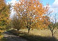 Autumn colour, Fen Lane - geograph.org.uk - 597902.jpg