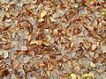 Autumn leaes on ground.jpg