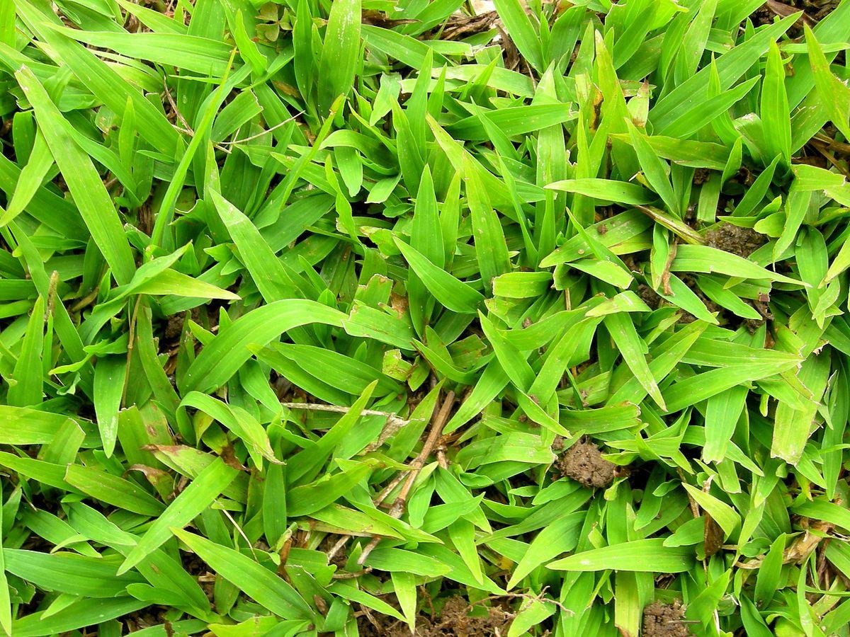 carpet grass - Wiktionary