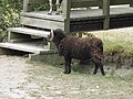 Bélier (Rams) (1).jpg