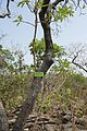 Bénin-Terminalia mollis (1).jpg