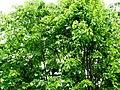 Büyük yapraklı ıhlamur-2.jpg