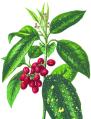BGTransp L 003-Aucuba japonica.tif.png