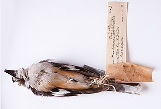 Buff-sided robin - Early 19th century buff-sided robin specimen collected by W.B. Spencer at Flora River, Northern Territory, and held by the Museum of Victoria (H.L. White Collection)