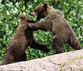 Baby bears playing in the sun (14717487854).jpg