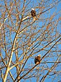 Bald Eagles along Nookscak River Dike Trail (32546963372).jpg