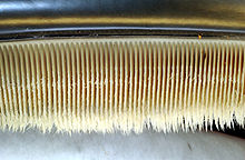 Photo displaying dozens of baleen plates: The plates face each other, and are evenly spaced at approximately 0.25 in (1 cm) intervals. The plates are attached to the jaw at the top, and have hairs at the bottom end.