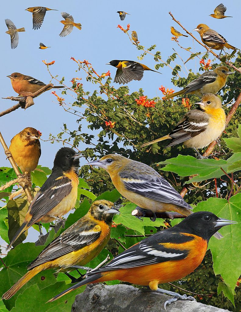 Crossley Id Eastern Guide jpg The baltimore Birds File Commons Wikimedia - From