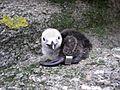 Banded Razorbill chick.jpg