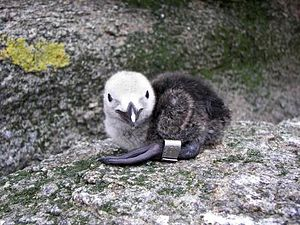Razorbill - Banded chick on Gannet Island, Labrador