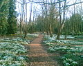Bank Hall Snowdrops April 2008.jpg