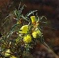 Banksia acanthopoda gnangarra 04 cropped.JPG