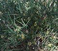 Banksia laricina foliage.jpg