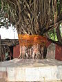 Banyan tree (2).JPG