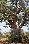 Baobab tree Limpopo Messina Area.jpg