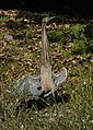 Bare-throated tiger heron (16523062695).jpg