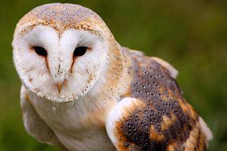 photo of a barn owl