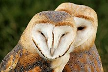 Barn Owls - Knebworth Country Show 2013 (9484398859).jpg