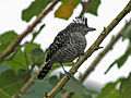 Barred Antshrike male CW.jpg