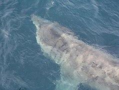 Basking Shark off Rousay - geograph.org.uk - 957838.jpg