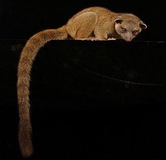 Western lowland olingo - Sitting on a branch
