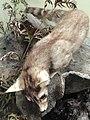 Bassariscus astutus raptor - Pacific Grove Museum of Natural History - DSC06642.JPG