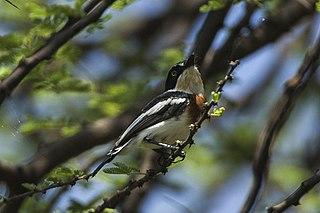 Pygmy batis species of bird