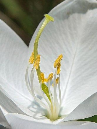 Bauhinia - Bauhinia acuminata