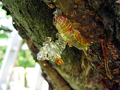 Baumharz resin cherry.jpg