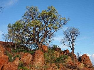 <i>Erythrina vespertilio</i> Species of plant