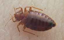 Cimicidae Wikipedia
