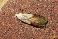 Bee moth f. (fp) (17134395467).jpg