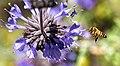 Bee on purple sage (Explored) (14638352663).jpg