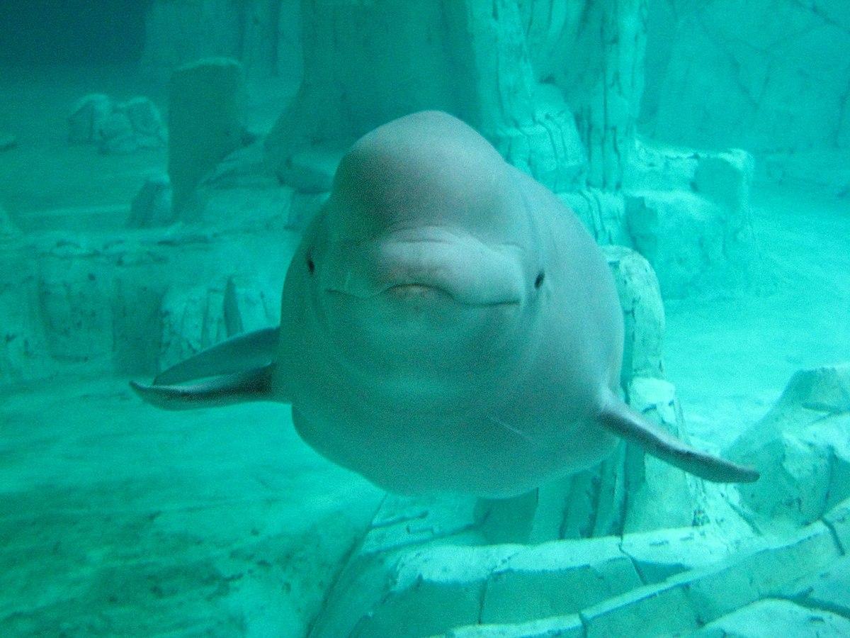 Delphinapterus leucas - Wikipedia, la enciclopedia libre
