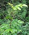 Berberis aquifolium RF.jpg