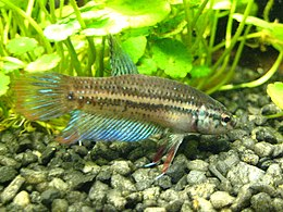 Betta imbellis (male) 20100512 2.jpg
